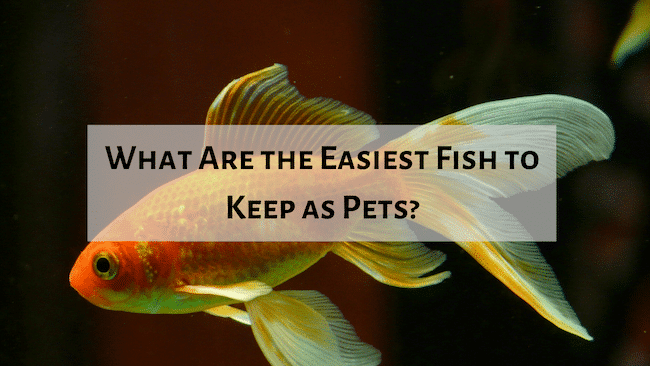 Best Fish to Buy as a Pet, Aquarium Fish Tanks UK