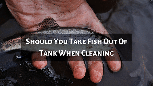 Should You Take Fish Out Of Tank When Cleaning